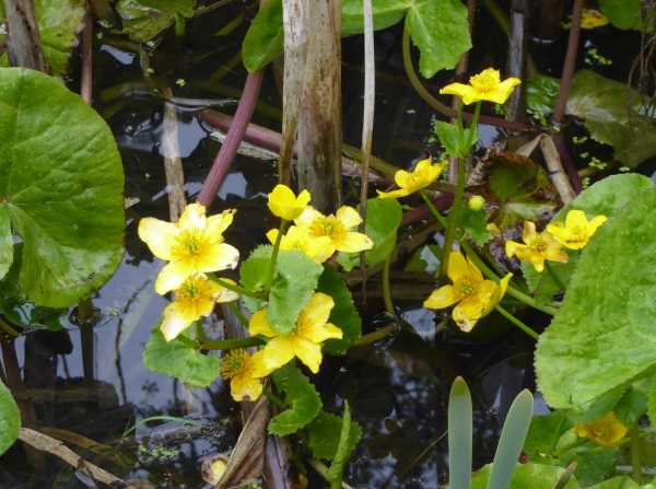 16 Sunlight Marsh Marigolds