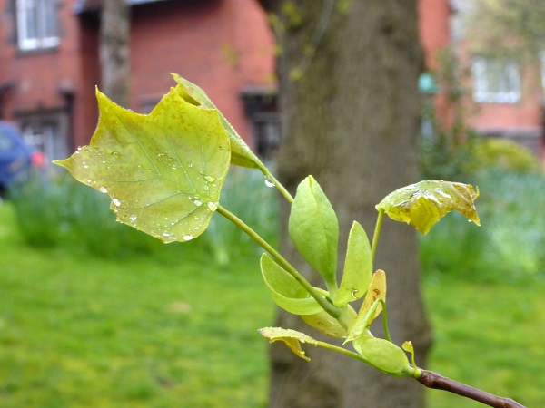 16 Sunlight Tulip tree bud