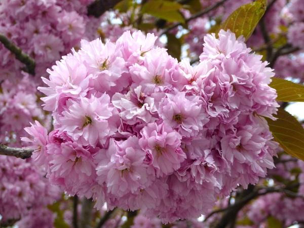 17 Southport cherry blossom