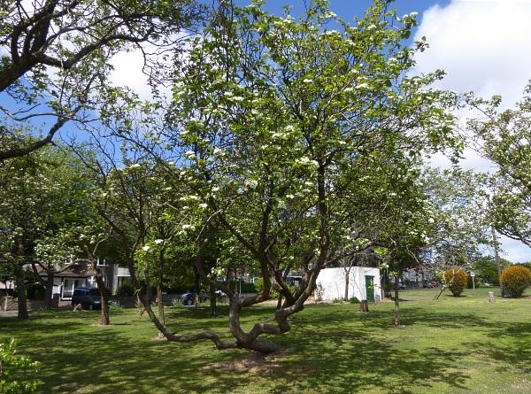 18 Mossley chrysocarpa tree