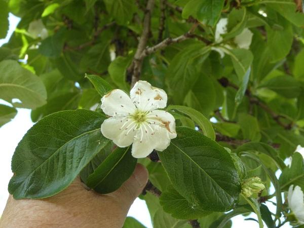 18 Mossley grandiflora blossom