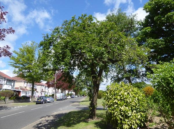 18 Mossley grandiflora tree