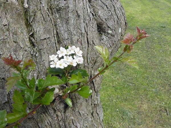 18 Mossley grignon flower