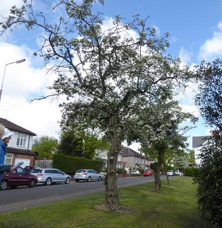 18 Mossley grignon tree