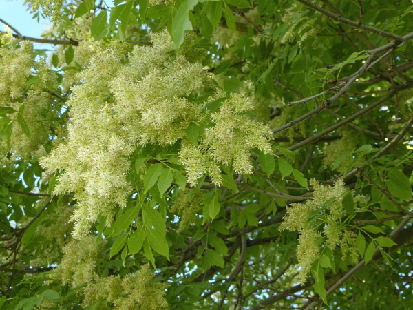 18 Mossley manna ash flowers