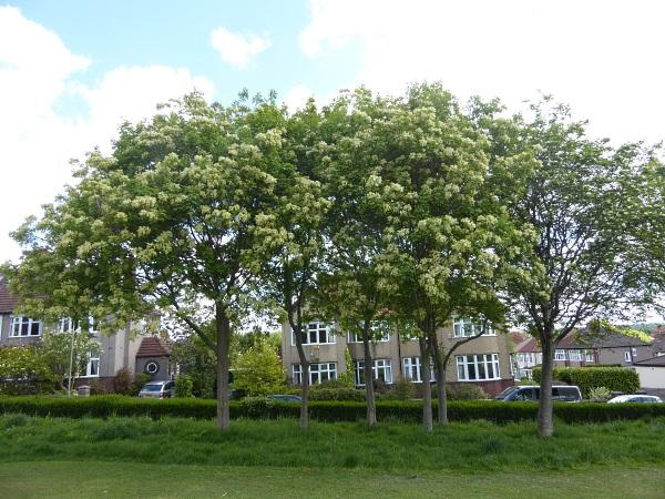 18 Mossley manna ash trees