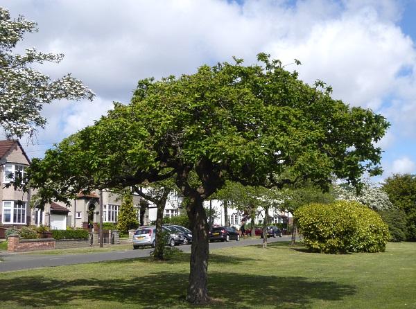18 Mossley medlar tree