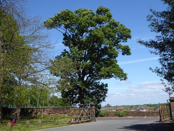 18 Mossley not an elm