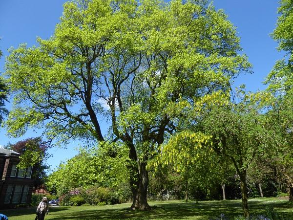 18 Mossley tulip tree