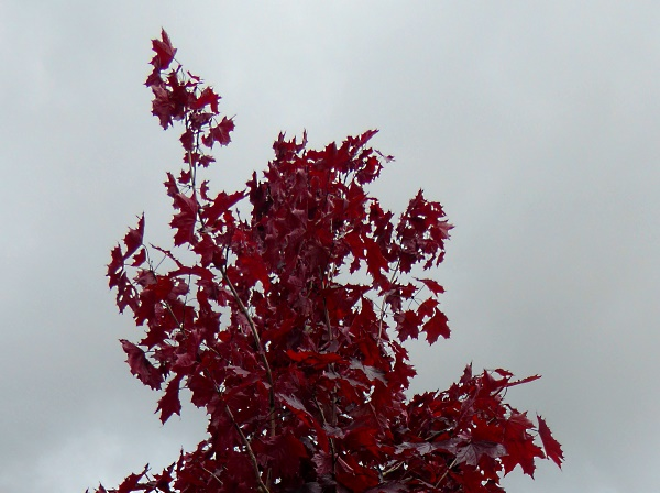 19 River Park maple purple variety