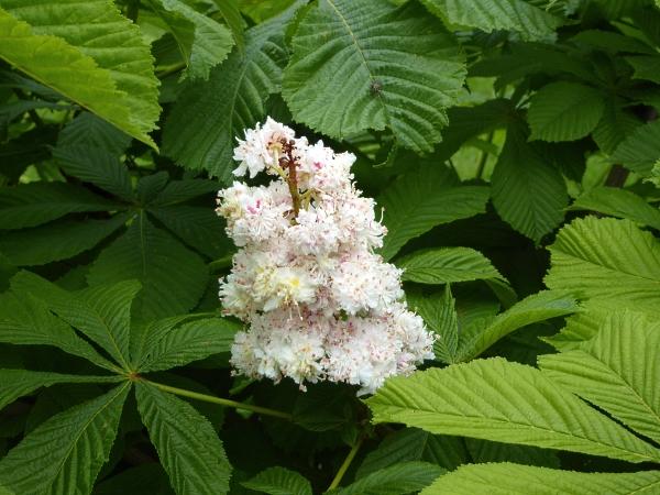 20 Allerton Bauman's horse chestnut flower