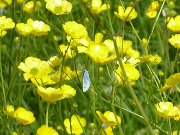 20 Allerton Blue in buttercups