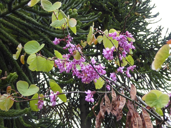20 Allerton Judas Tree flowers