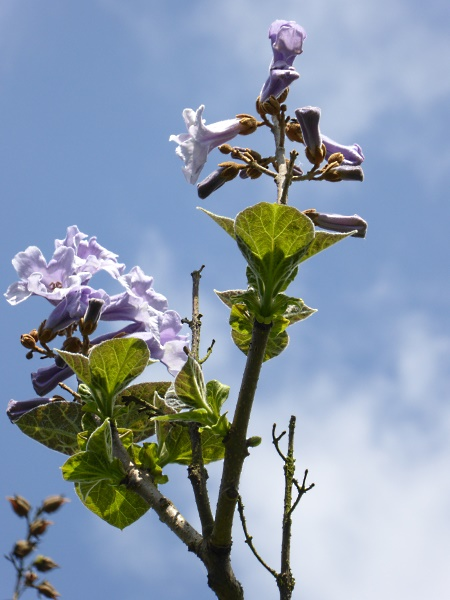 20 Allerton Paulownia flowers and buds