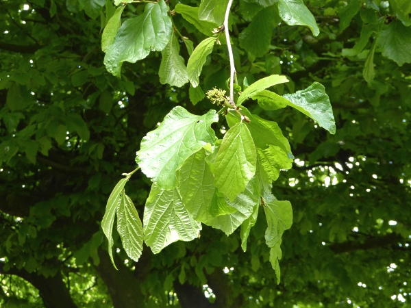 20 Allerton Persian Ironwood foliage