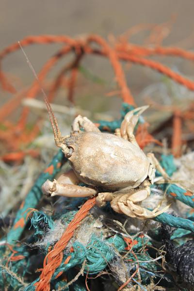 MNA Birkdale Masked Crab Netting1