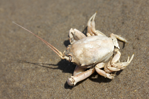 MNA Birkdale Masked Crab1