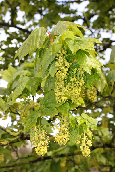 MNA Cilcain Sycamore Flowers