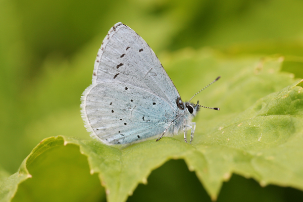 MNA Leasowe Holly Blue