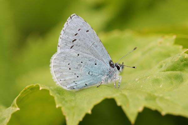 MNA Leasowe Holly Blue