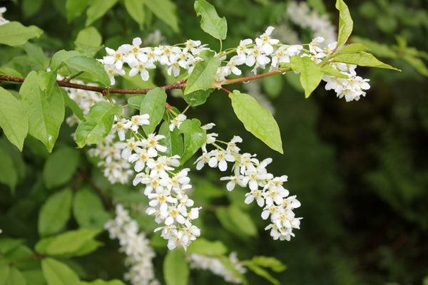 MNA Stocks Reservoir Bird Cherry