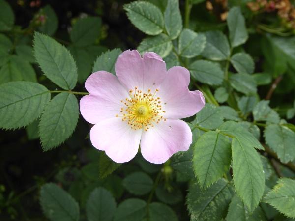 22 Eldonian Dog Rose