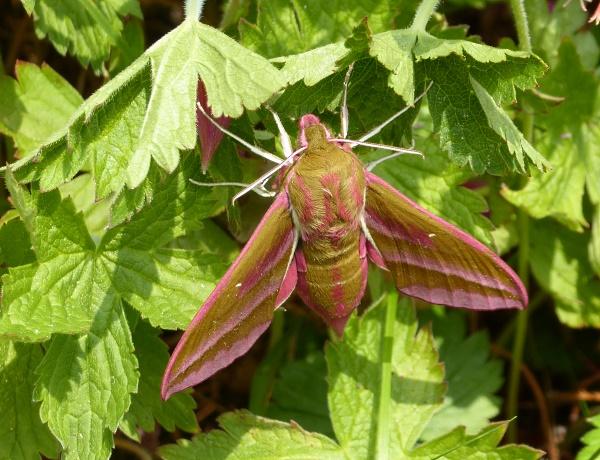 22 Eldonian Elephant Hawk-moth
