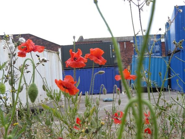 22 Eldonian Poppies
