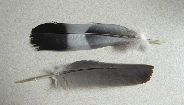 22 Eldonian WP feathers