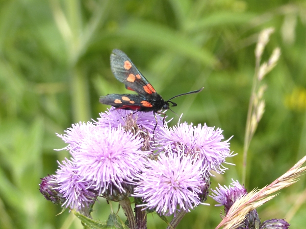 24 Everton Burnet moth