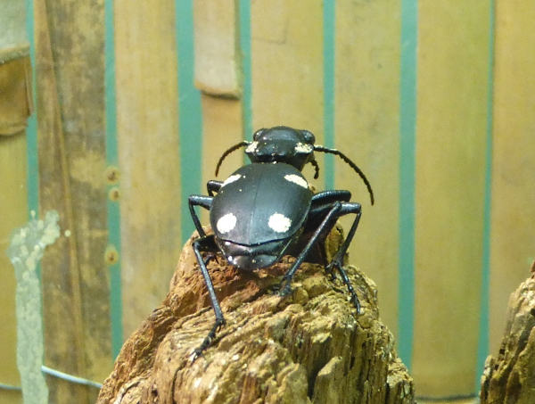 24 Everton Indian Ground Beetle