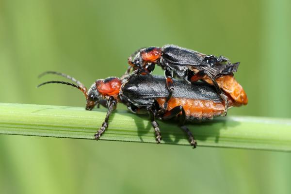 MNA Dibbinsdale Soldier Beetles