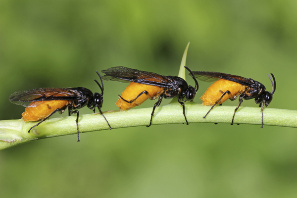 MNA Potteric Car Rose Sawfly