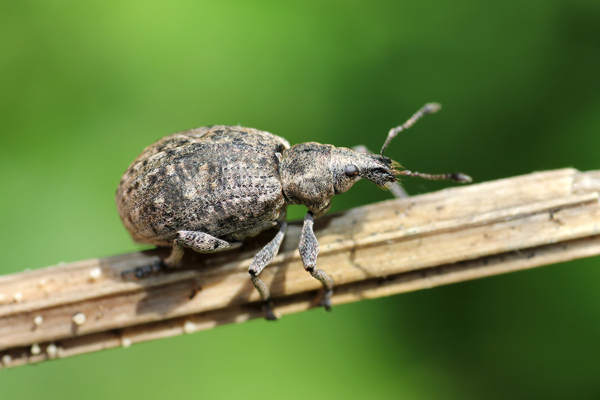 MNA Potteric Carr Weevil1