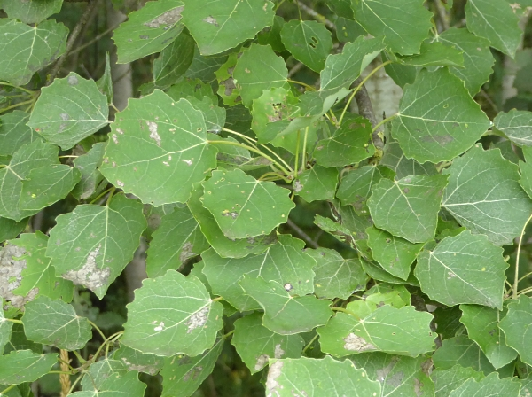 25 Pasture Aspen leaves