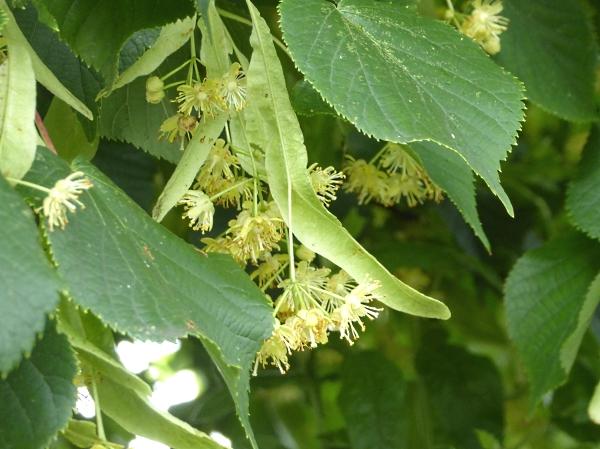 25 Pasture Lime flowers