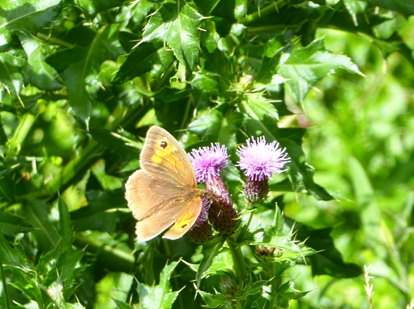 25 Pasture Meadow Brown