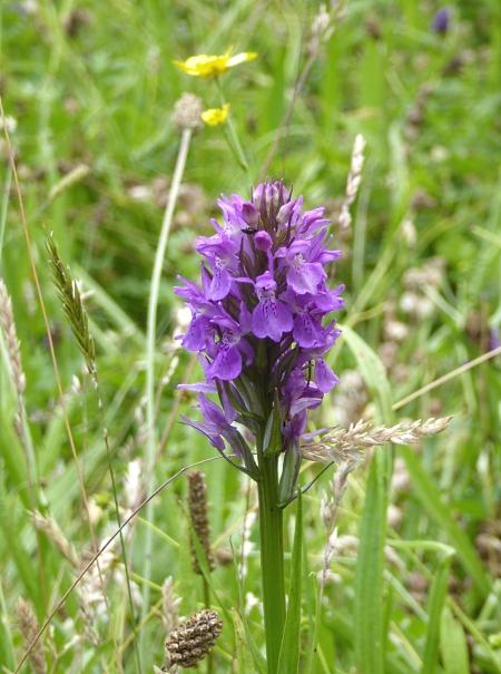 25 Pasture Orchid