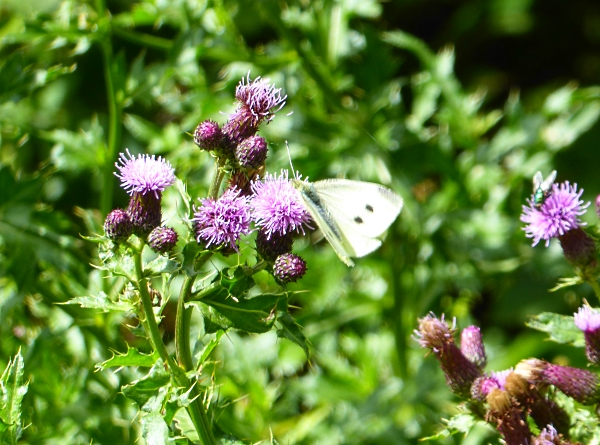 25 Pasture Small white