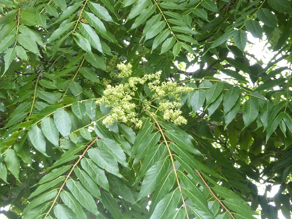 25 Pasture Tree of Heaven flowers