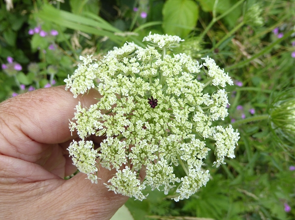 25 Pasture Wild Carrot face on