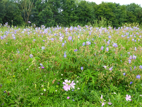 25 Pasture meadow cranesbill