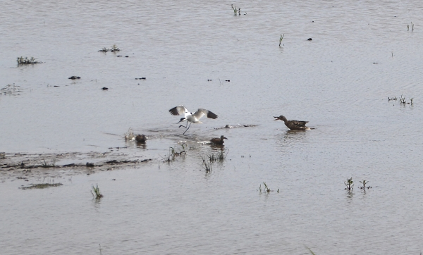 26 Marshside Avocet and Shoveller