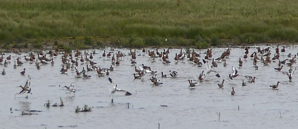 26 Marshside Avocets and Godwits