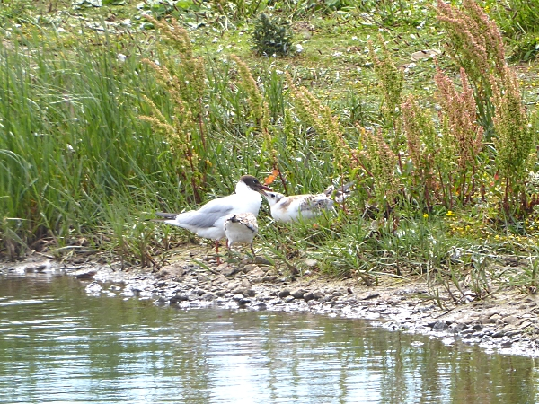 26 Marshside BHG and chicks
