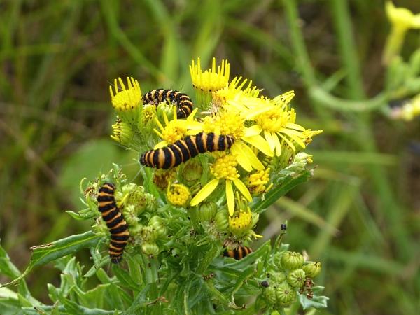 26 Marshside Cinnabar caterpillars