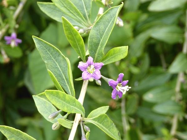 26 Marshside D of As Tea Tree
