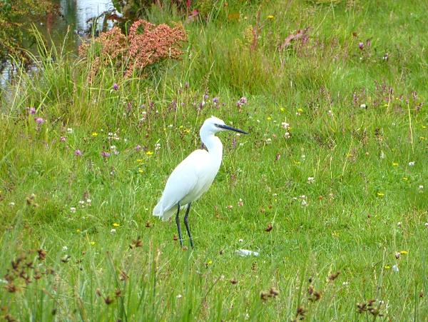 26 Marshside Little Egret