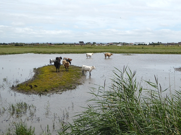 26 Marshside cattle