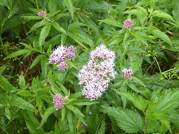 27 Neston Hemp Agrimony